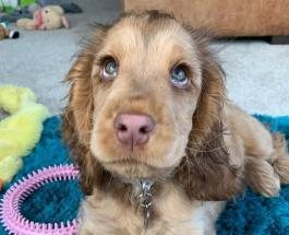 Собака с человеческими глазами: кокер-спаниель, похожий на «диснеевскую принцессу»