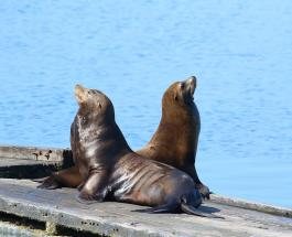 Два морских льва «одолжили» лодку прокатившись на палубе как парочка