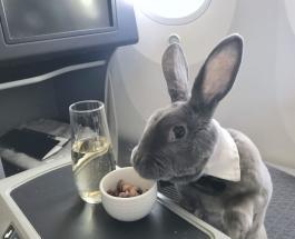 Ушастый пассажир: кролик, который летает бизнес-классом
