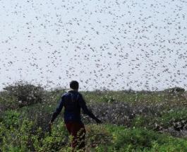 Нашествие саранчи угрожает продовольственной безопасности Кении