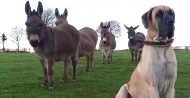 собака дружит с ослами
