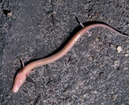 Редкая европейская пещерная саламандра оставалась на одном месте семь лет