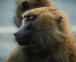 Бабуин украл львенка и стал заботиться о нем как о своем детёныше