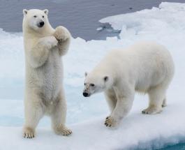 Российские учёные назвали причины гибели белых медведей в Арктике