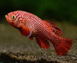 """Учёные на примере африканской рыбки пытаются раскрыть секрет """"вечной молодости"""""""