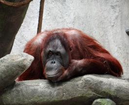 Орангутанг предлагает помощь человеку: фото из мира дикой природы стало вирусным в сети
