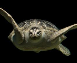 Самая большая в мире черепаха весила более 1000 кг, имела рога и ела крокодилов - учёные