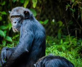 Шимпанзе поделилась едой с черепахой: забавное видео про добро в мире животных