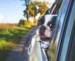 Собака переходит дорогу как человек: сеть развеселило забавное видео