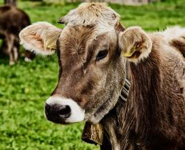 1333 доллара за корову: Чад отдаст 100-миллионный долг Анголе крупным рогатым скотом