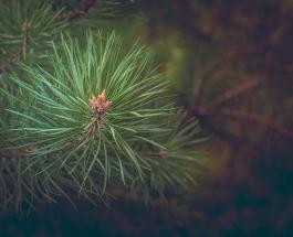 Европейским деревом 2020 года стала 350-летняя сосна, растущая в Чехии