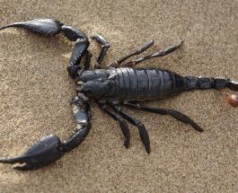 Яд скорпиона  как лекарство: учёные ищут новый способ лечения суставов