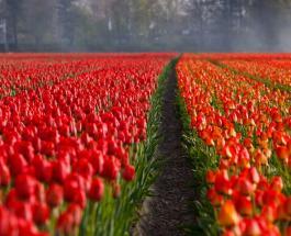 Цветочный бизнес в Нидерландах терпит колоссальные убытки: ущерб оценивается в $5,5 млрд