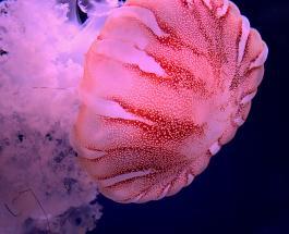 Побережье Филиппин заполонили сотни гигантских розовых медуз