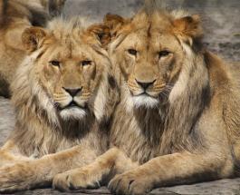 Фото львов спящих посреди дороги в ЮАР: причины необычного поведения хищников
