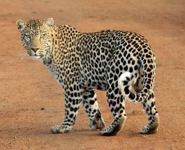 Видео леопарда обучающего детенышей переходить дорогу снято в сафари-парке ЮАР
