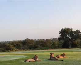 Туристы больше не мешают: хозяевами дорог в заповеднике Южной Африки стали львы