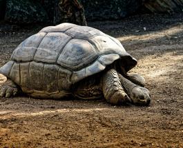 Самая старая в мире черепаха: фото животного,  живущего на Земле более 180 лет