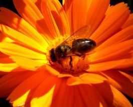 Долгая жизнь королевы и умение спариваться в полёте: интересные и малоизвестные факты о пчелах