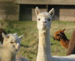 Ламы могут помочь в борьбе против коронавирусной инфекции: неожиданный вывод учёных