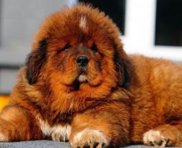 15 известных пород собак, выведенных в Азии
