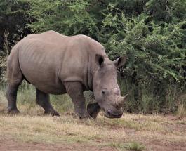 "В Непале за соблюдением карантина ""следит"" носорог: забавное видео"