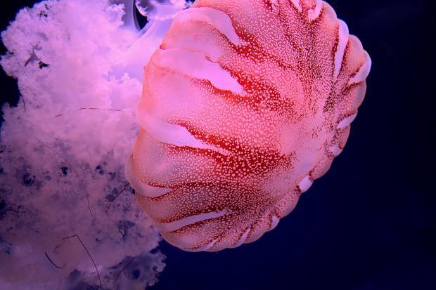 Розовая медуза