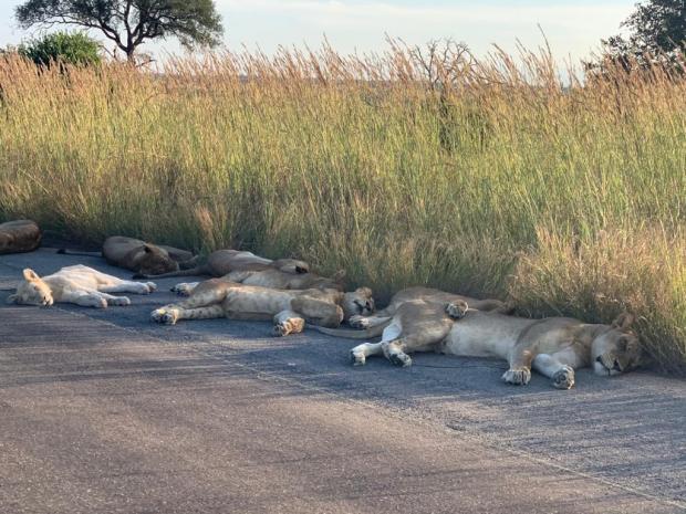 львы в траве