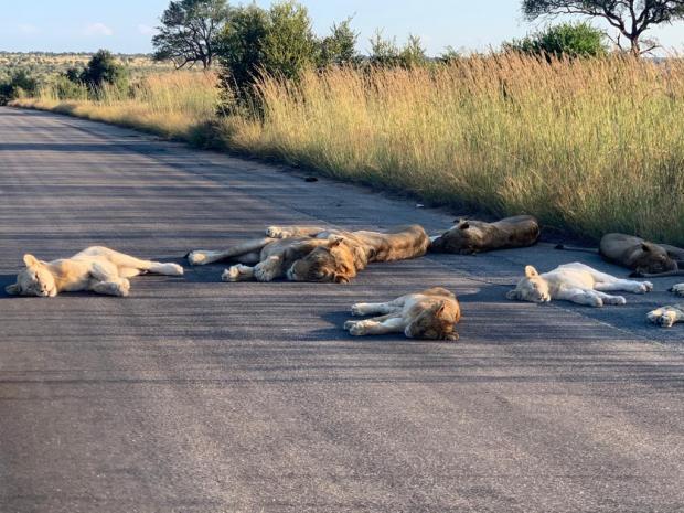 спящие львы