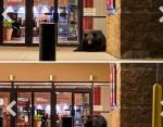 Мишка, который решил прилечь отдохнуть в торговом центре города Дулут в США.