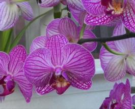 """Натуральная подкормка для орхидей из банановой кожуры продлит жизнь """"королеве цветов"""""""