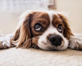 Ученые доказали: собаки тоже переживают сложности подросткового возраста