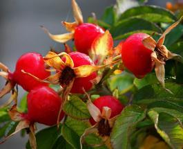 Масло семян шиповника для красоты: чем полезно и как его применять