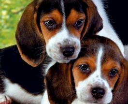 7 пород собак, которые станут идеальными компаньонами для пожилых людей