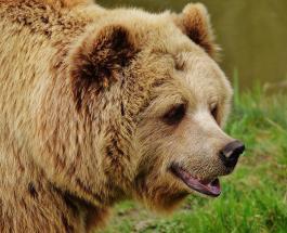 В дикой природе Испании впервые за 150 лет обнаружен бурый медведь: видео
