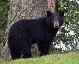 Черный медведь принимает ванну: забавное видео показал зоопарк из штата Орегон