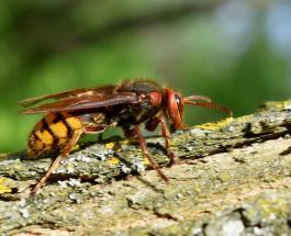 В США впервые замечены азиатские шершни-убийцы, смертельно опасные для людей и пчел
