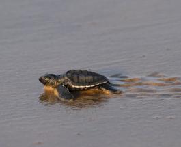 Удивительные кадры: сотни маленьких новорожденных черепах пересекают пляж в Индии