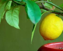 Как вырастить в домашних условиях лимонное дерево: 4 важных этапа