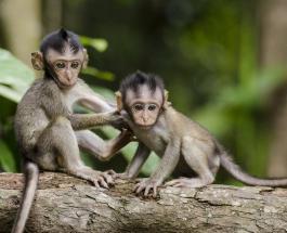 В Индонезии сняли на видео попытку обезьяны похитить маленького ребенка