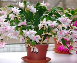 Лунный календарь комнатных растений на июнь 2020: благоприятные и опасные даты для пересадки цветов
