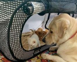Трогательная история про животных: лабрадор взял под опеку новорожденных котят