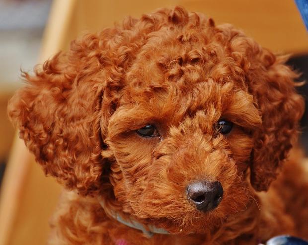 пудель, Избавят от дурных мыслей: ТОП-5 пород собак, которые помогут справиться с осенней депрессией