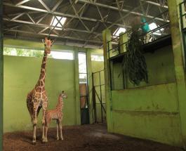 В сафари-парке на индонезийском острове Бали родился жираф по имени Корона