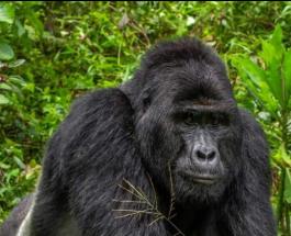 В Африке убили известную гориллу: преступникам грозит пожизненное заключение