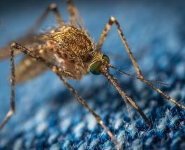 Могут ли комары быть переносчиками коронавируса: новое исследование ученых
