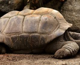 15 гигантских черепах спасших вид от вымирания возвращаются на родину 55 лет спустя