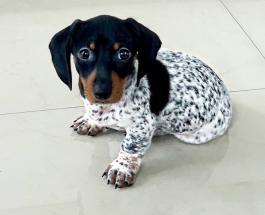 Такса с телом далматинца: необычная расцветка сделала маленькую собаку звездой сети