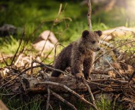 Видео про животных: трое медвежат забрались на кухню жительницы Аляски