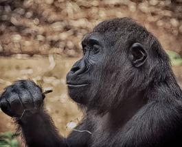 Жители Уганды недовольны наказанием для убийцы самой известной в стране гориллы